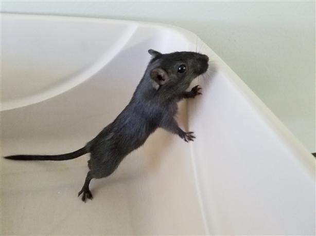 Matthias - Gerbil Small Animal