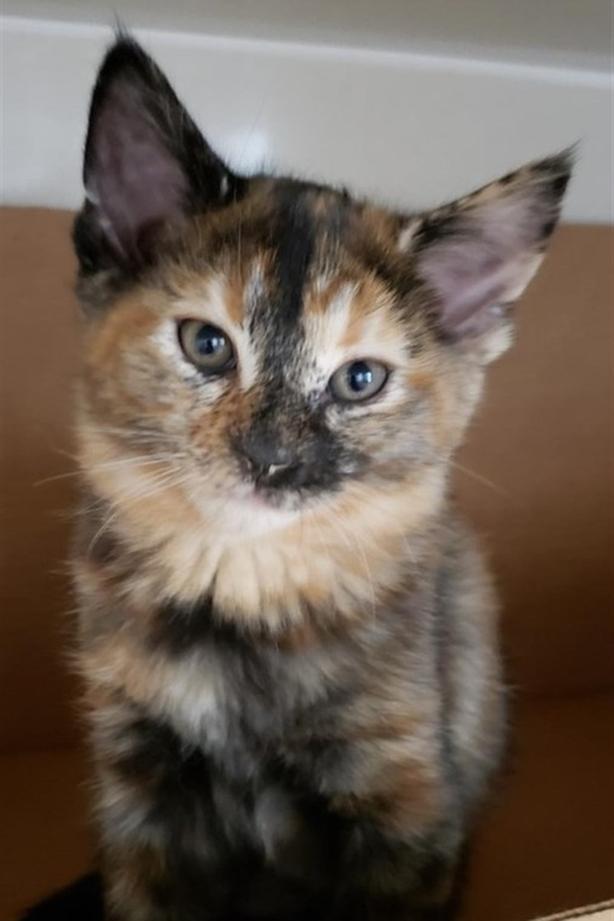 Nautia - Domestic Short Hair Kitten