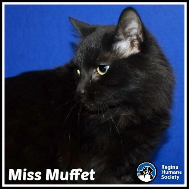 $125 · Miss Muffet* - Domestic Medium Hair Cat