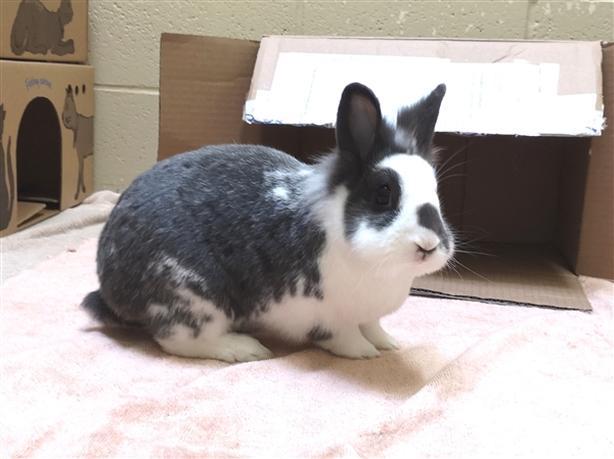 Gromit - Lionhead Rabbit