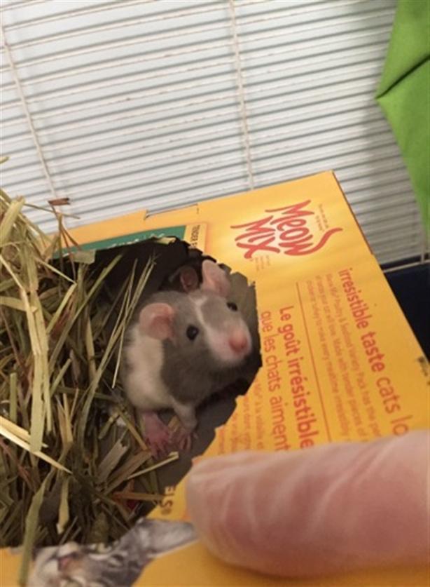 Mike - Rat Small Animal