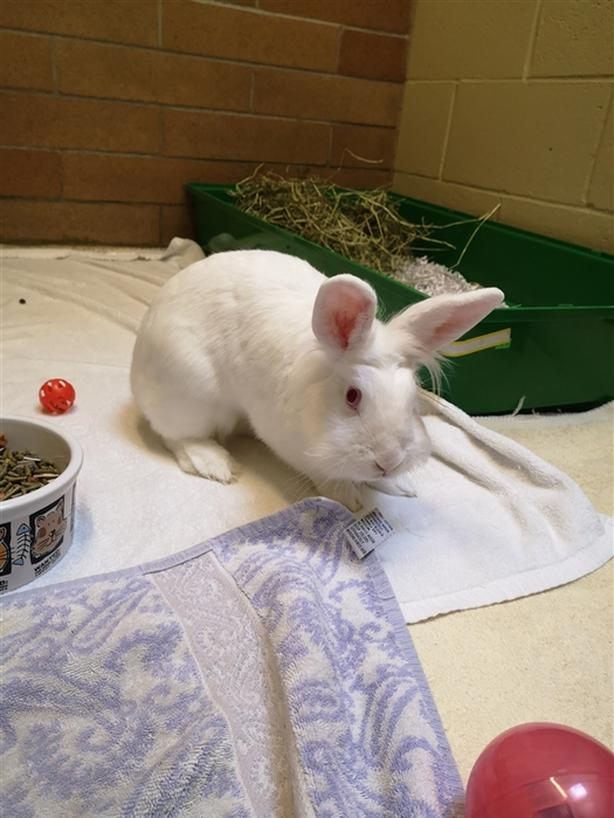 Thelma - Lionhead Rabbit
