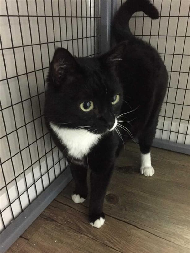 Simon - Domestic Short Hair Cat