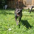 Layla - American Staffordshire Terrier Dog