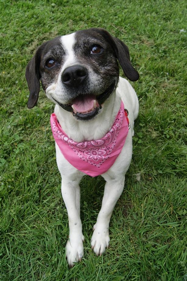 Molly - Beagle Dog