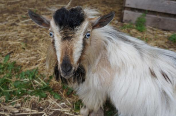 Time to Breed your Goats Nigerian Dwarf