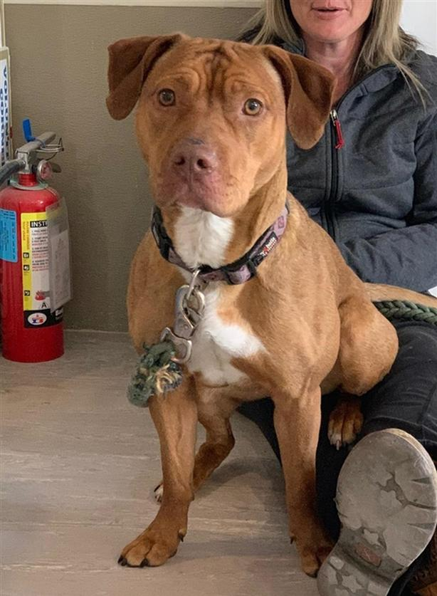 Payton - Pit Bull Terrier Dog