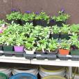 BEDDING  PLANT SALE * REGENT PARK *