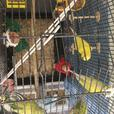 5 Budgies and cage