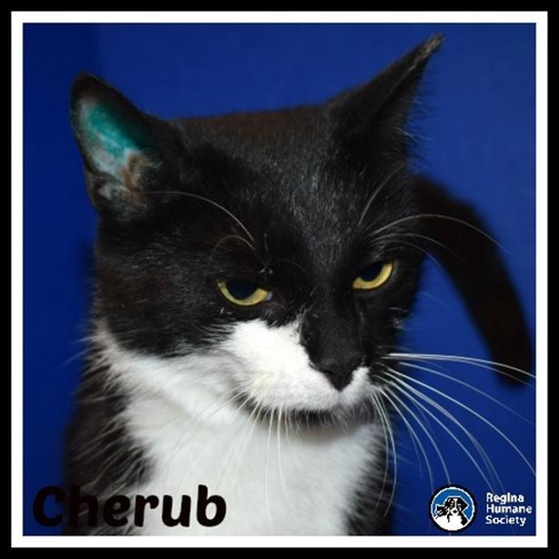 Cherub* - Domestic Short Hair Cat North Regina, Regina