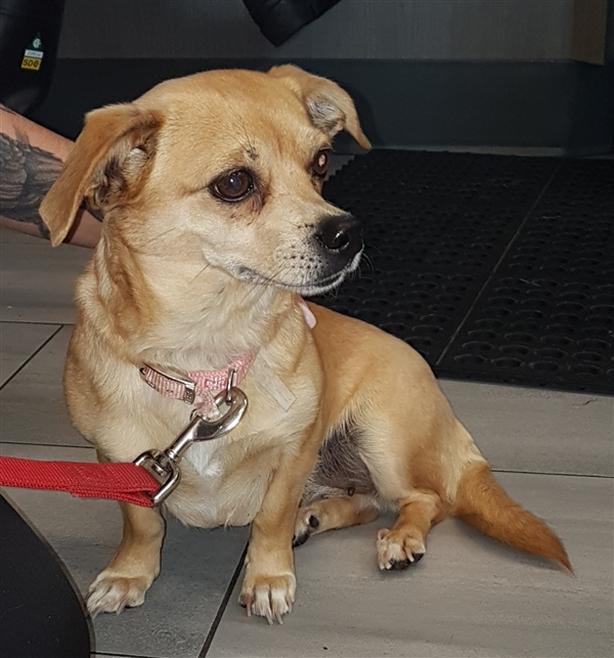 Cindy Lou - Chihuahua Dog Parksville, Nanaimo