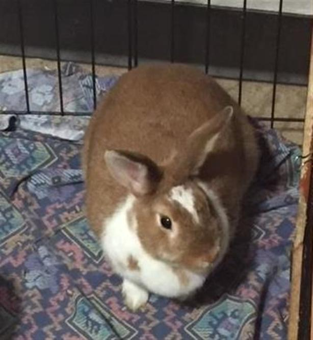 Cinnamon - American Rabbit