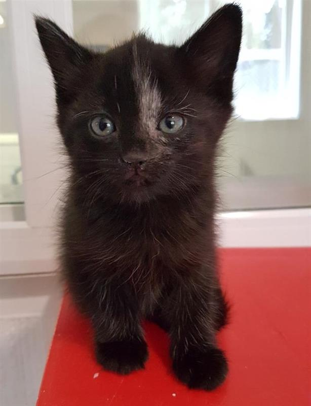 Scara - Domestic Medium Hair Kitten