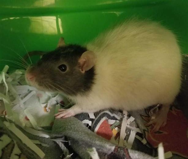 Bridgette - Rat - Hooded Small Animal