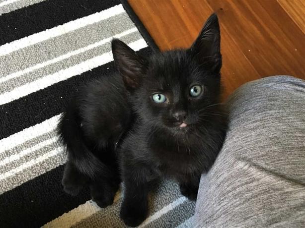 Aiden - Domestic Short Hair Kitten