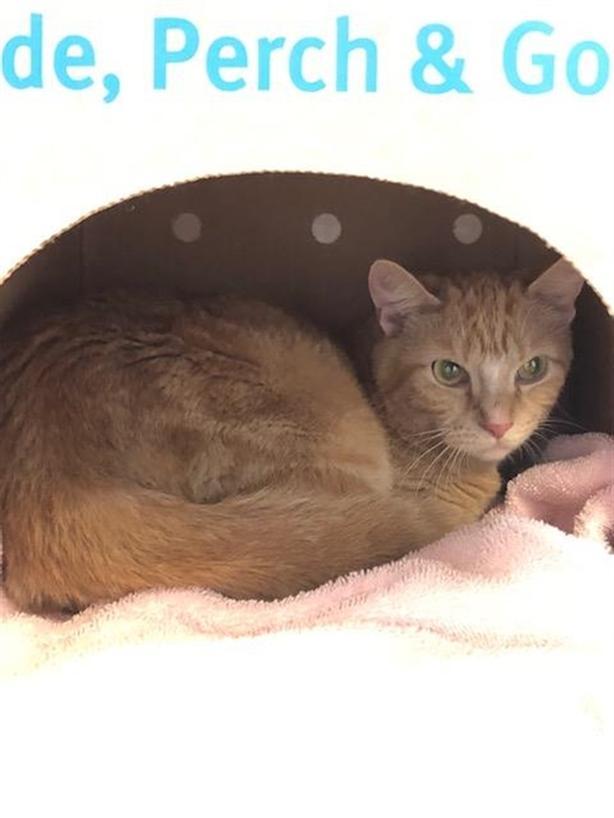 Laces - Domestic Short Hair Cat
