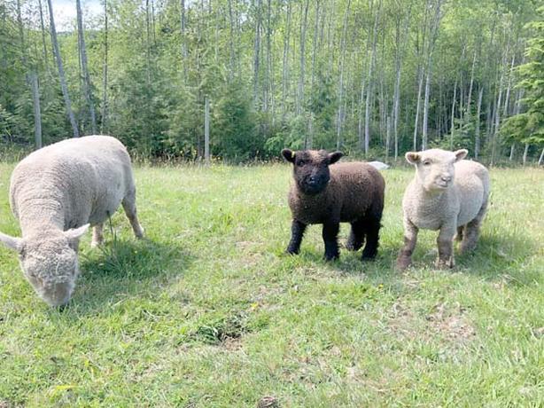  Log In needed $1,000 · Registered Babydoll ewe lambs, wether, ram and  hair sheep ewe
