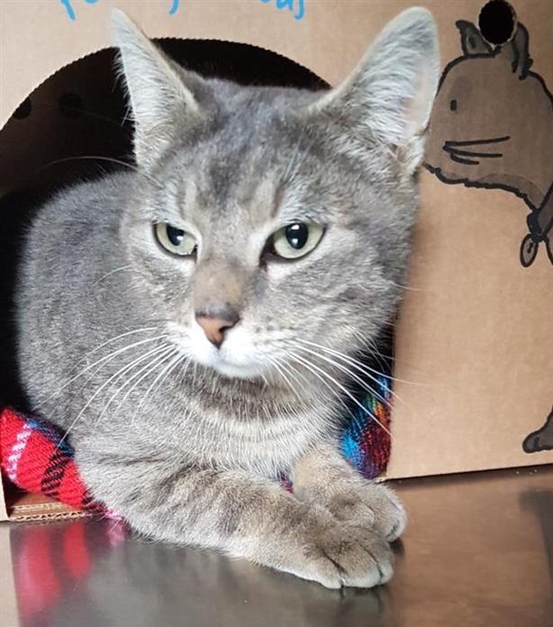 Powder - Domestic Short Hair Cat