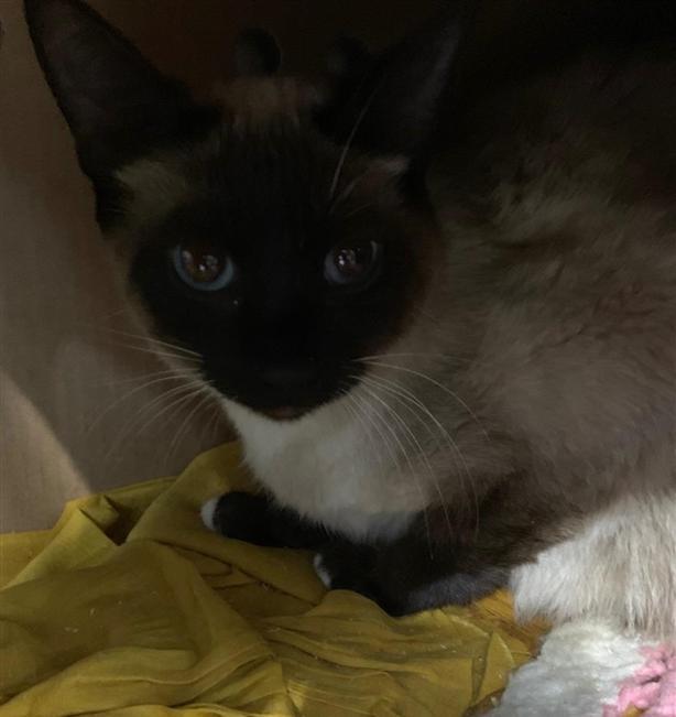 Wilma - Siamese Cat