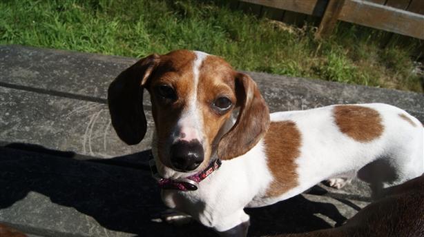 Anna - Dachshund, Mini Dog