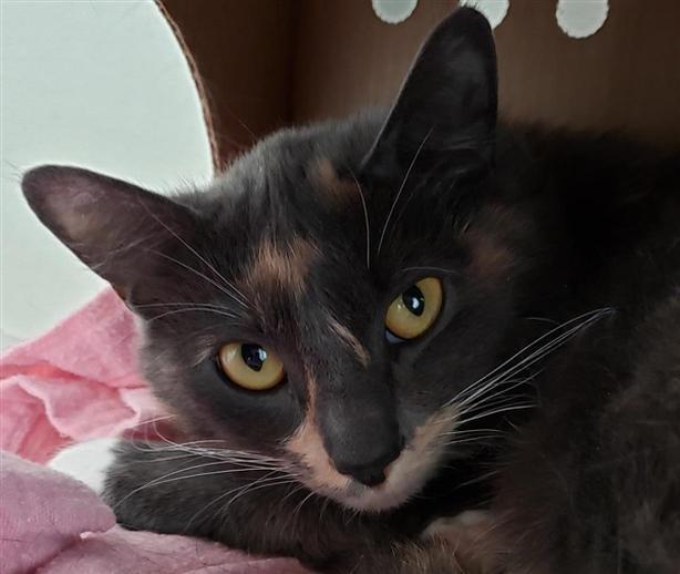 Sassy - Domestic Short Hair Cat