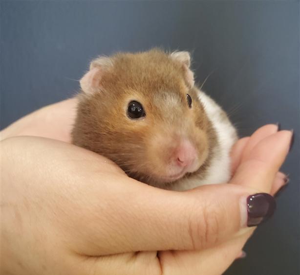 Tiny - Hamster Small Animal