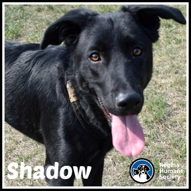 Shadow - Border Collie Dog North Regina, Regina - MOBILE