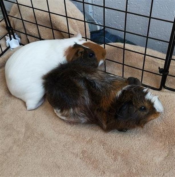 Notorious P I G  - Guinea Pig Small Animal North Nanaimo
