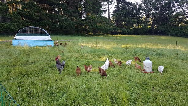 Pastured, organic fed eggs
