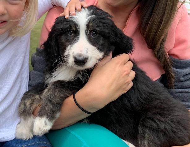 Adorable Bernedoodle Puppy West Shore Langfordcolwood