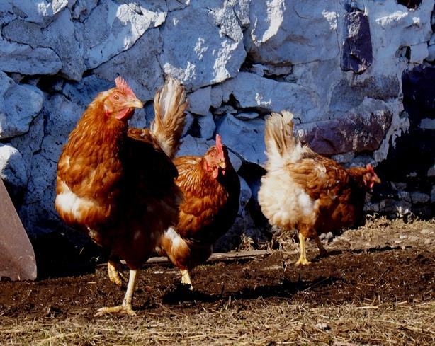 Red Hens for sale