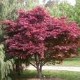Ornamental Japanese Maple Tree Seedlings