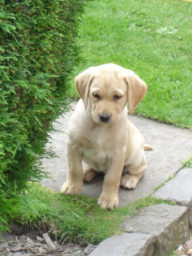 yellow male labrador