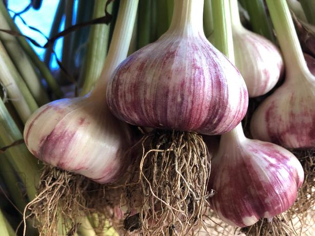 Red Russian Garlic