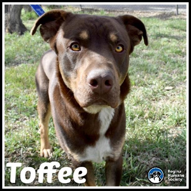Toffee* - Shepherd Dog