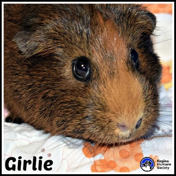 Girlie - Smooth Hair Guinea Pig