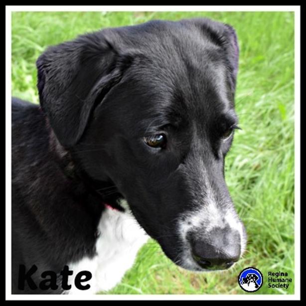 Kate - Border Collie Dog