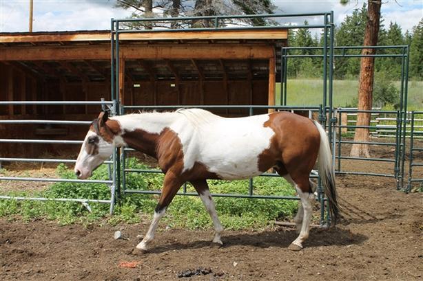 1 - River - Horse-Paint/pinto Farm Animal
