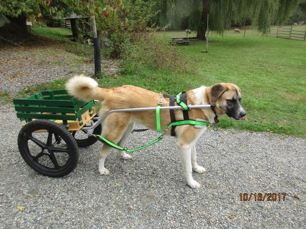dog cart & harness