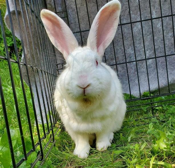 Carl - Florida White Rabbit