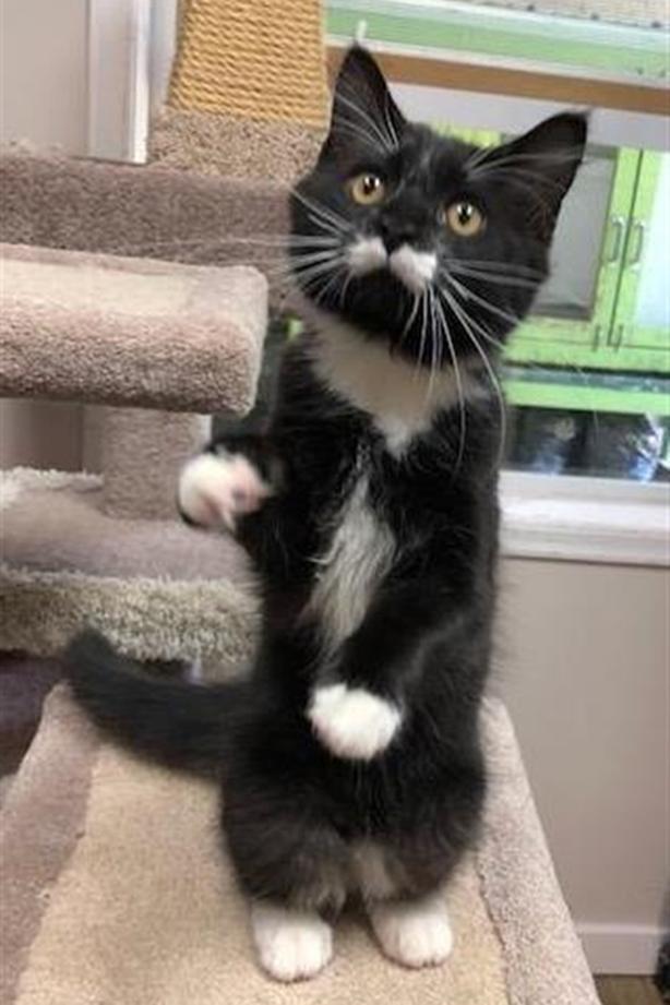 Ollie - Domestic Medium Hair Kitten