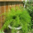 ASPARAGUS FERN FOR SALE