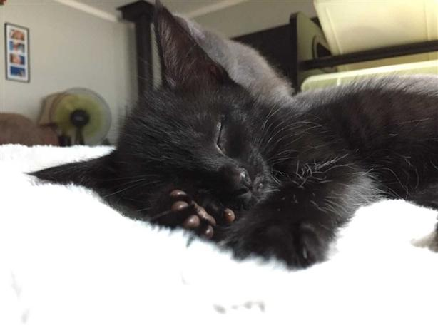 Sugar - Domestic Short Hair Kitten