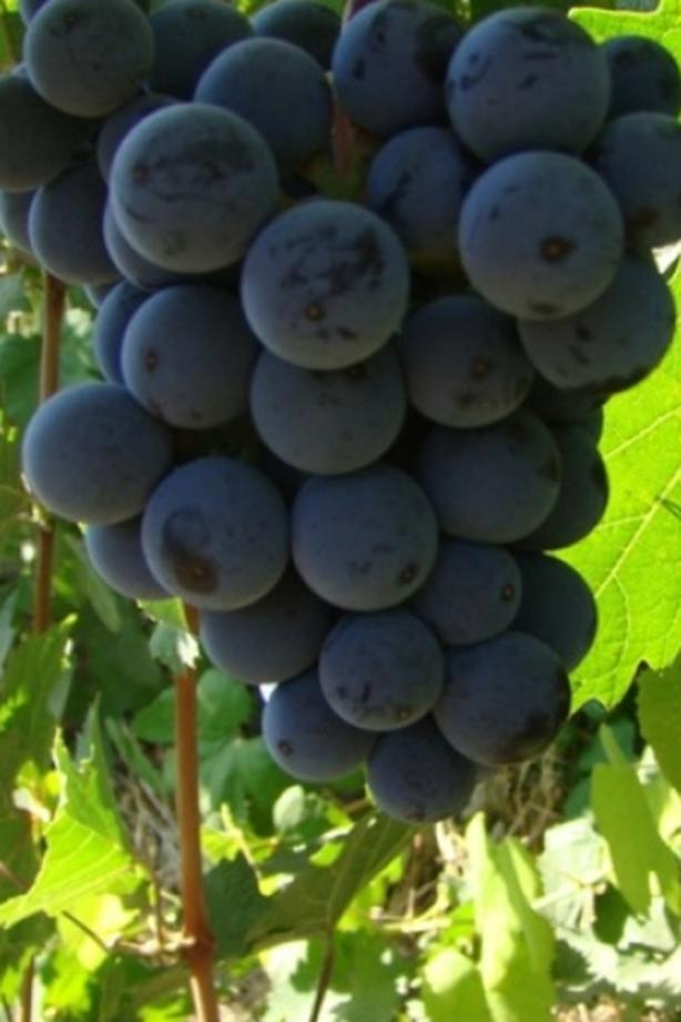 Pinot Noirs Wine grapes