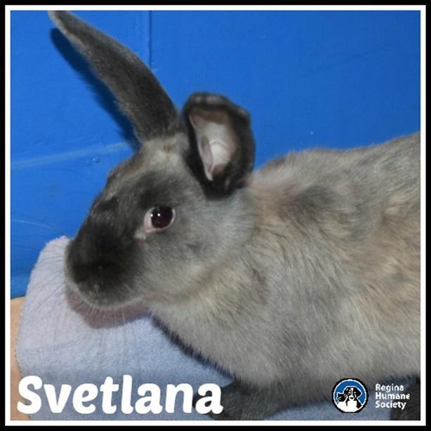 Svetlana - English Lop Rabbit