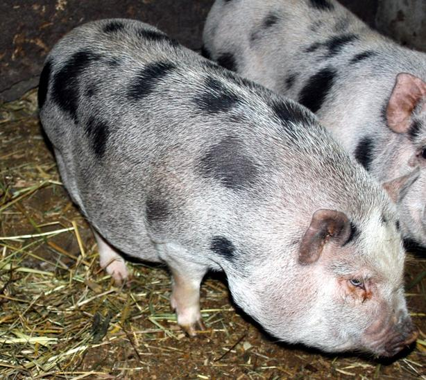 Juliana Pigs, young sows for sale, ideal for hobby farm