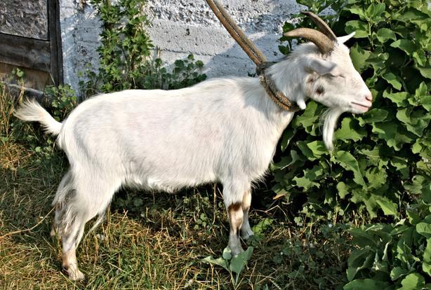 Dwarf Goat, companion fixed male