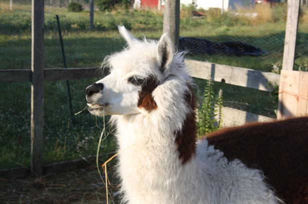 ALPACA, great pet, ideal first Alpaca to own!