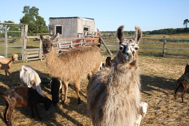 LLAMA GUARDIANS, trained livestock guardians for sale, MOVING