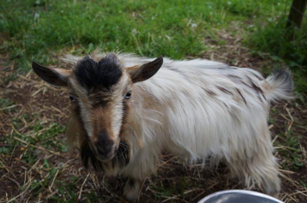 Proven Purebred Male Nigerian Dwarf Breeding goat 1 year old